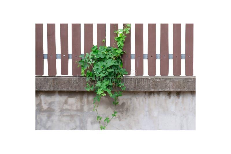 Zielonej bluszcz gurdy drzewny zrozumienie na drewnianym na brudnej cement ścianie odizolowywającej na białym tle obraz stock