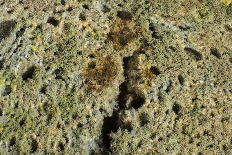 Zielonej foremki penicylina na chlebie, ciekawa owłosiona tekstura obraz stock