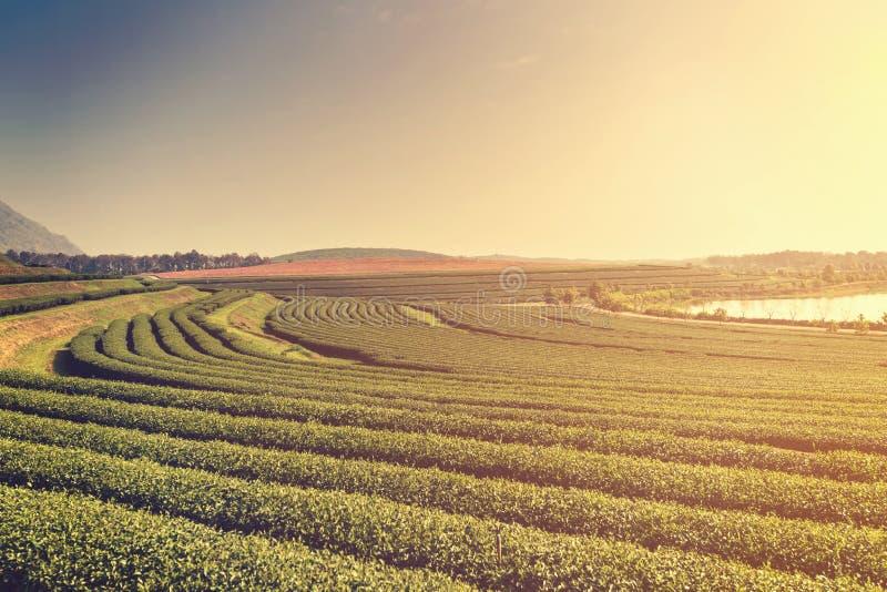 Zielonej herbaty plantaci gospodarstwo rolne z ranek mgłą i światłem obrazy stock