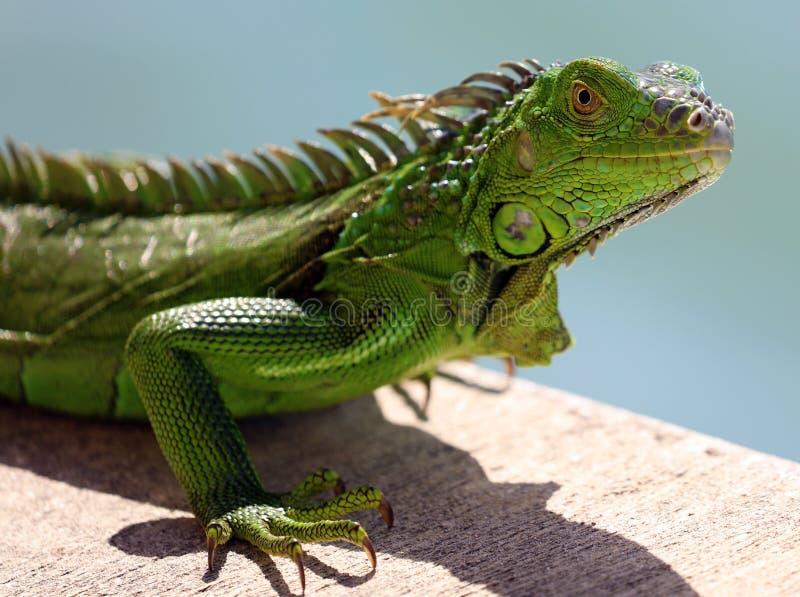 Zielonej iguany męski piękny multicolor zwierzę, kolorowy gad w południowym Floryda zdjęcia royalty free