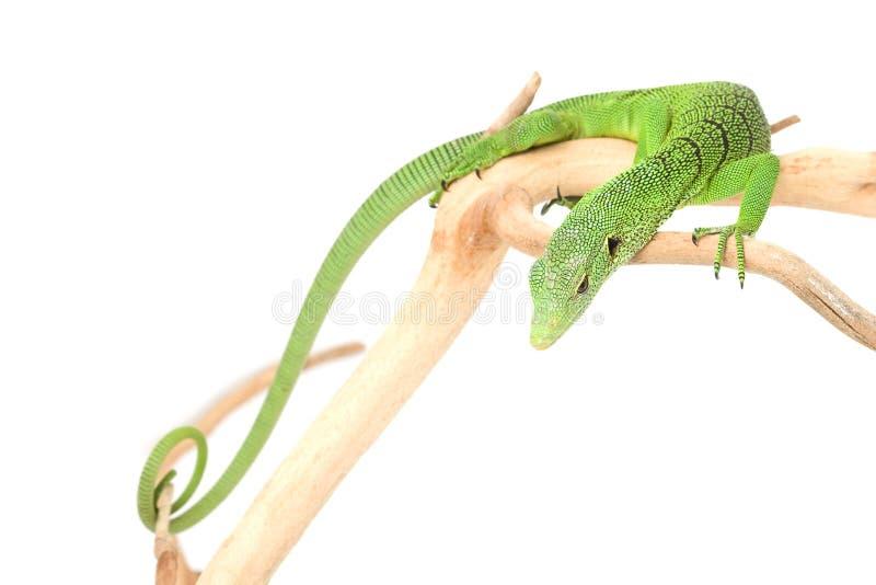 zielonej jaszczurki monitoru drzewo zdjęcia stock