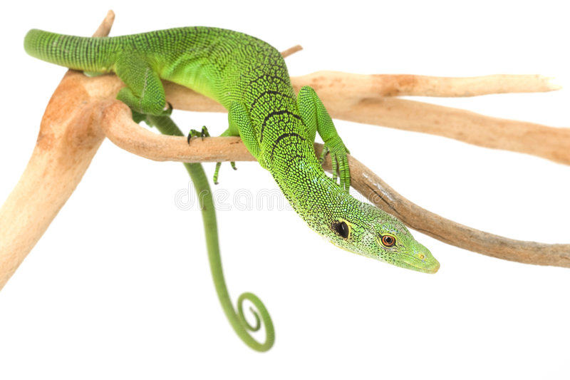 zielonej jaszczurki monitoru drzewo zdjęcia royalty free