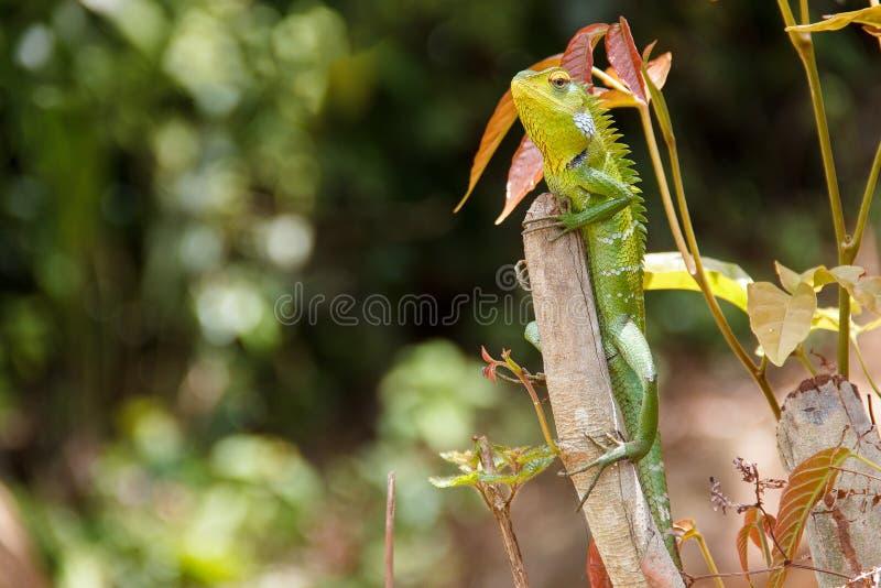 Zielonej jaszczurki obsiadanie na kiju zdjęcie royalty free