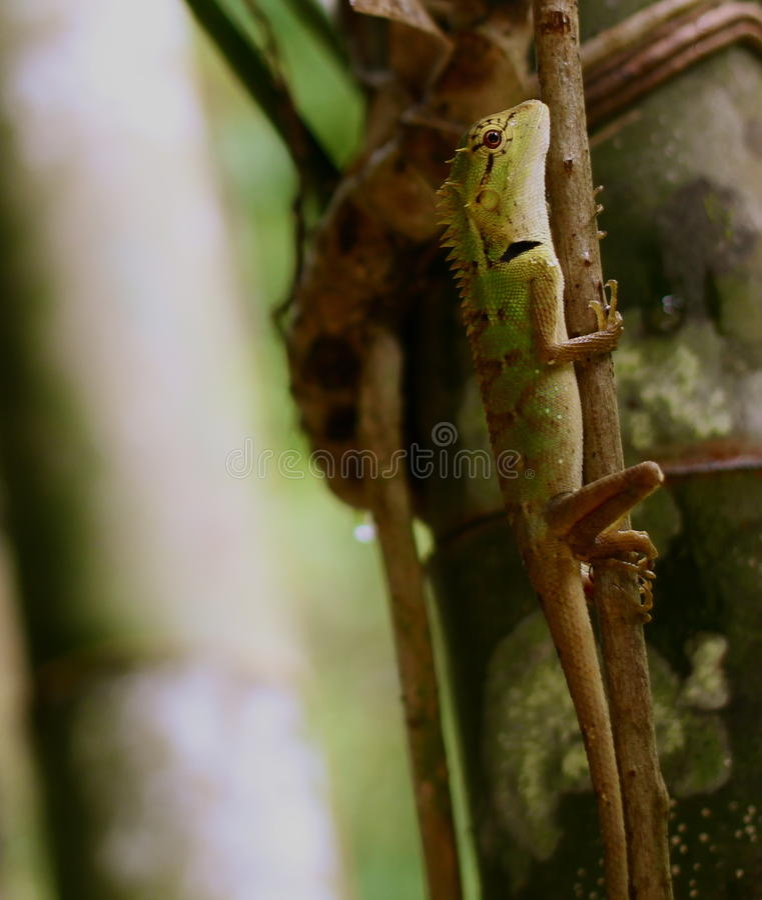 Zielonej jaszczurki pięcie w dżungli obrazy royalty free