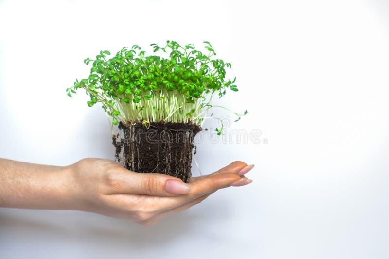 Zielonej rośliny spouts nowy eco obraz stock