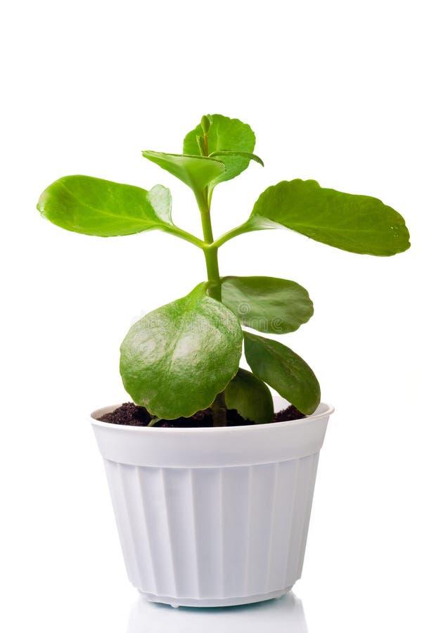 zielonej rośliny garnek zdjęcie royalty free