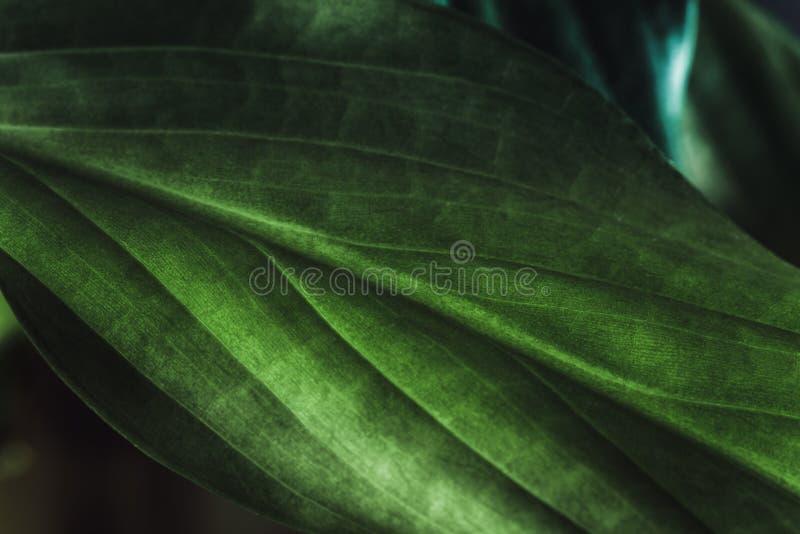 Zielonej rośliny liścia tekstura, makro- strzał Natury tło, wiosny flora obraz royalty free