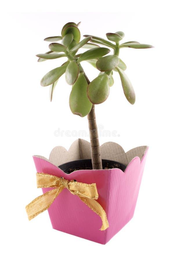 Zielonej rośliny menchii prezent zdjęcia royalty free