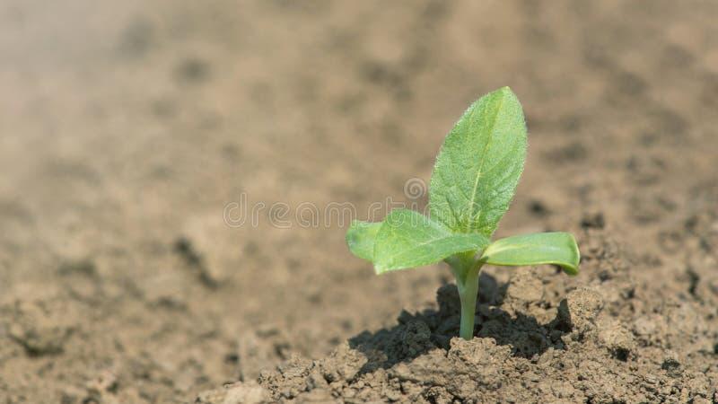 Zielonej soi roślina na polu w wiośnie Młoda soi roślina obraz royalty free