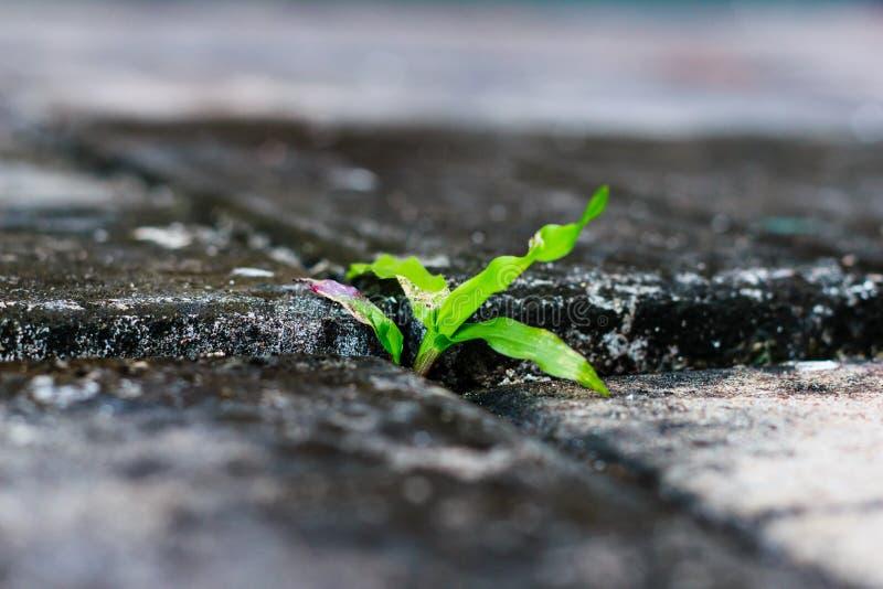 Zielonej trawy dorośnięcie przez pęknięcia fotografia royalty free