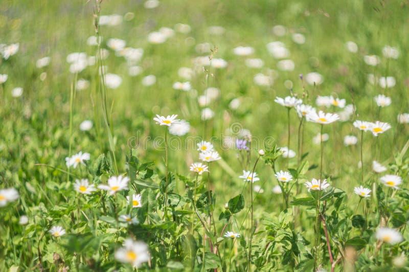 Zielonej trawy i chamomile kwiaty w naturze, łąka kwiaty, skaczą kwiecisty krajobraz obrazy royalty free