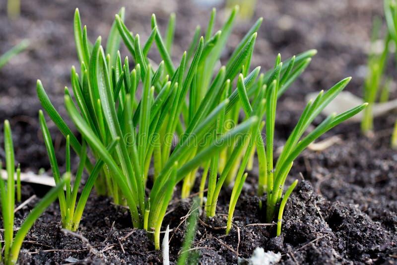 Zielonej trawy kiełkowanie zdjęcia royalty free