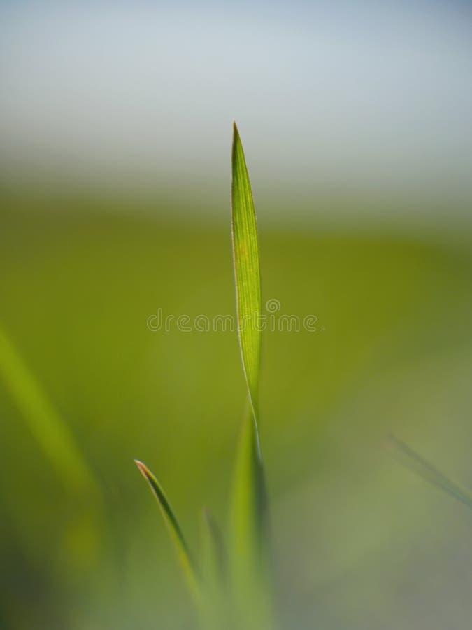 Zielonej trawy ostrze obrazy stock