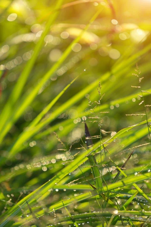Zielonej trawy tło, Abstrakcjonistyczna naturalnych tło trawa fotografia royalty free
