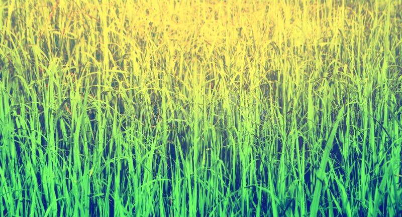 Zielonej trawy tekstura w wschodzie słońca, natury tło obraz royalty free