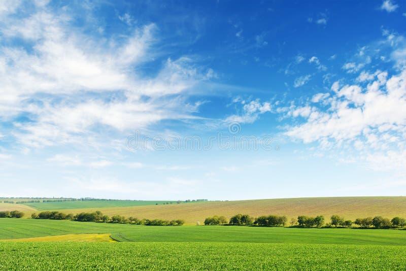 Zielonej wiosny kukurydzany pole i niebieskie niebo fotografia royalty free