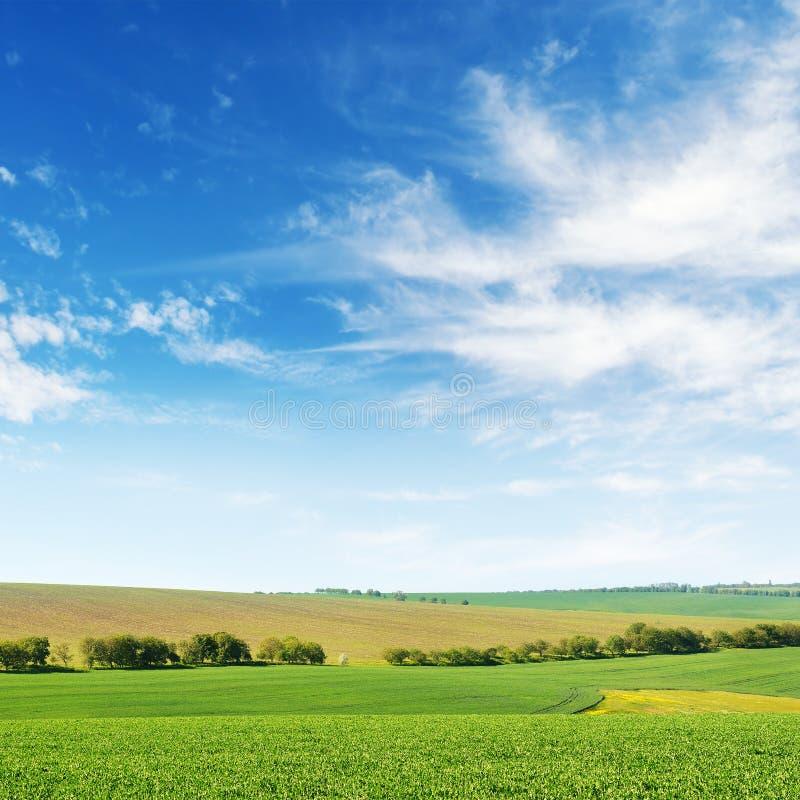 Zielonej wiosny kukurydzany pole i niebieskie niebo obraz royalty free