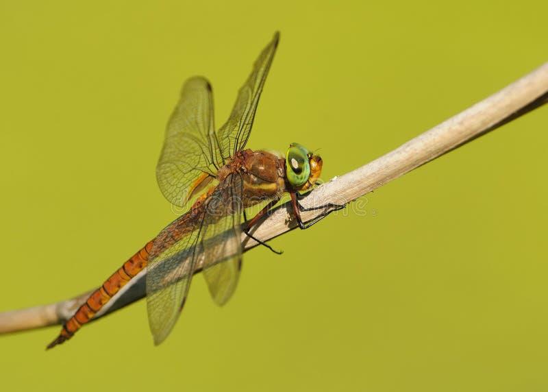 Zielonoocy domokrążcy Aeshna isoceles są małym domokrążcy dragonfly Czerwony i pomarańczowy dragonfly z dużymi zielonymi oczami u fotografia stock