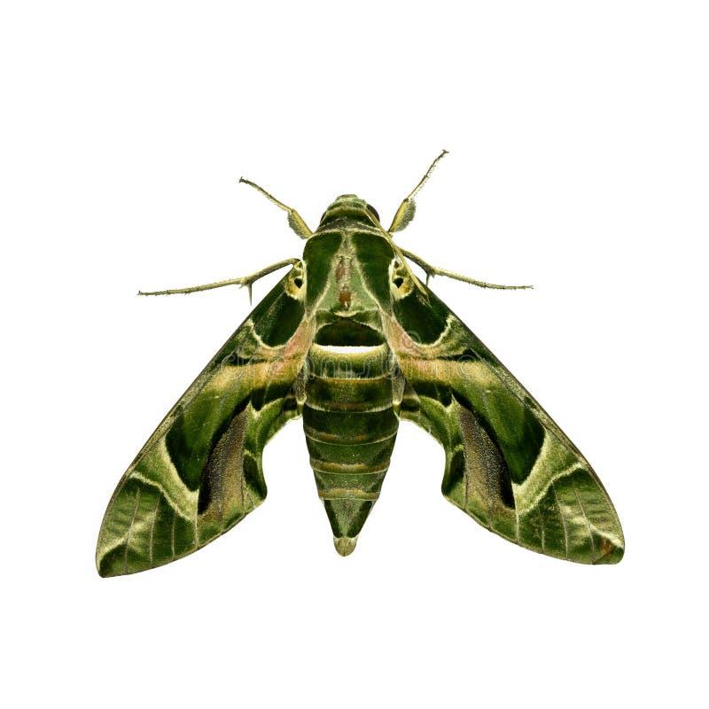 zielony ćma zdjęcia stock