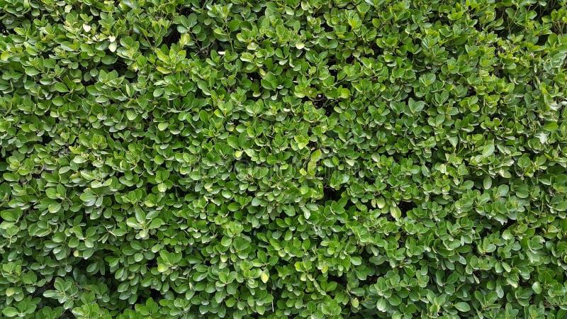 Zielony Ścienny żywopłotu Boxwood fotografia royalty free