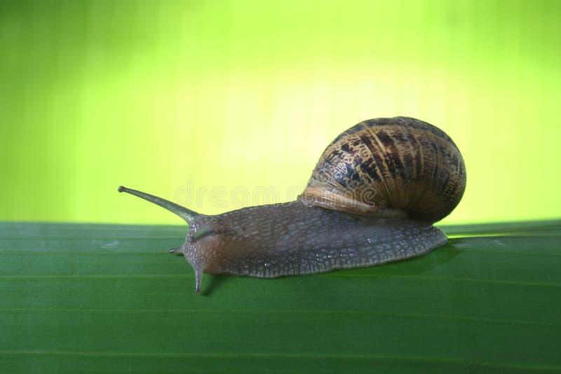 zielony ślimak obrazy stock
