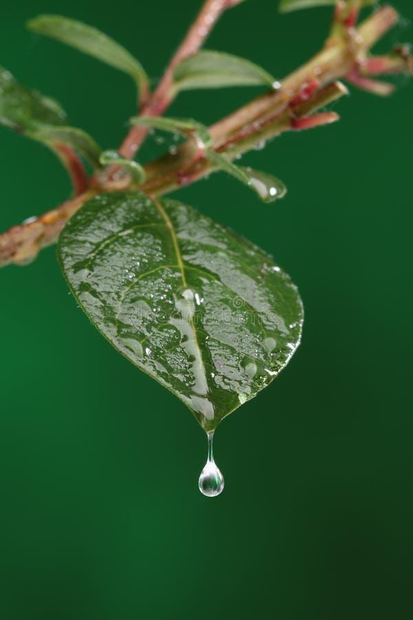 Zielony świeży liść z wodną kroplą zdjęcie royalty free
