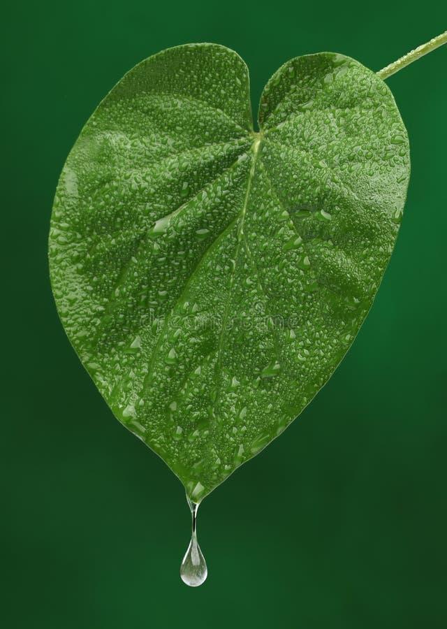 Zielony świeży liść z wodny opadowy spadać obrazy royalty free