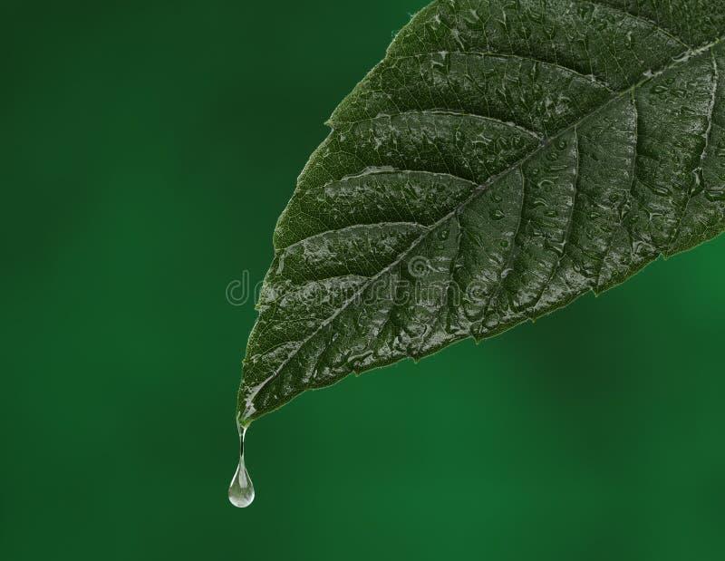 Zielony świeży liść z wodny opadowy spadać fotografia stock