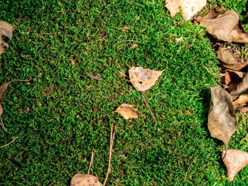 Zielony żółty mech na barkentynie drzewo dla tła lub tekstury zdjęcie royalty free