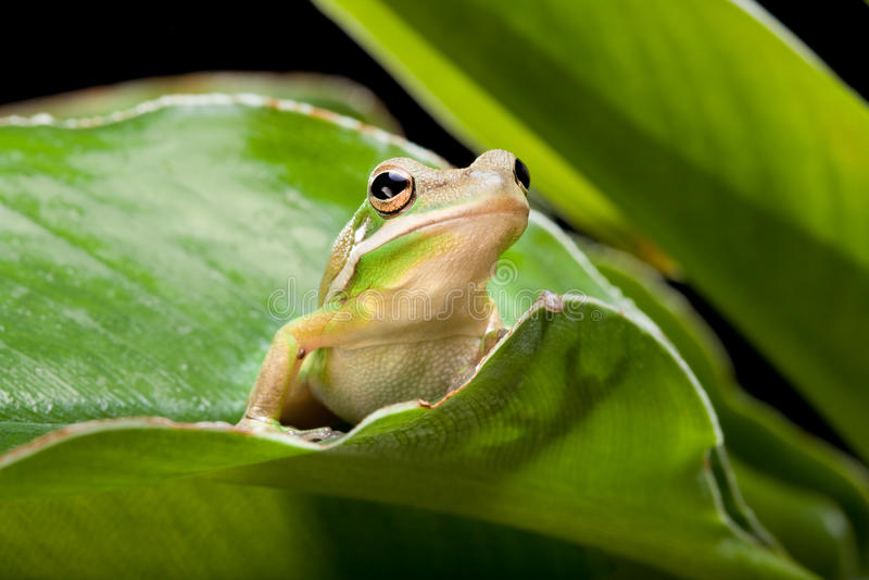zielony żaby drzewo obraz stock
