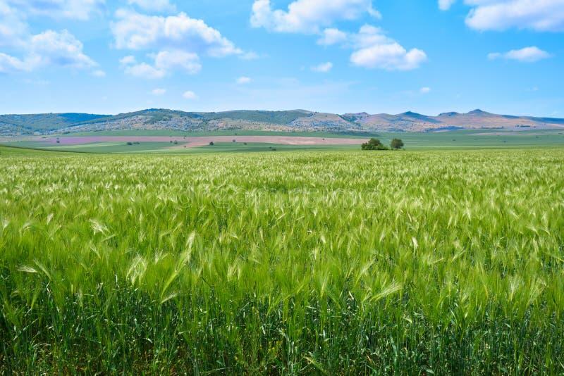Zielony żyta pole w wiośnie Maj blisko Macin gór, Dobrogea, Tulcea, Rumunia, z wzgórzami w odległości i few osamotnionych drzewac obrazy royalty free