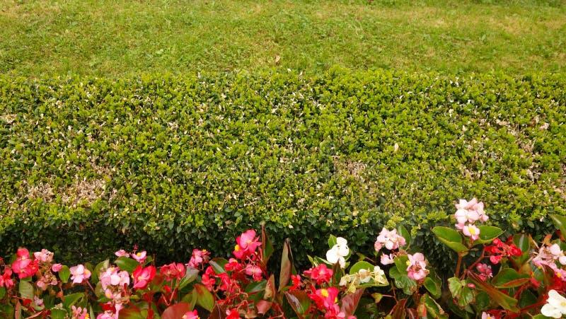 Zielony żywopłotu jarda ogrodzenie obraz stock