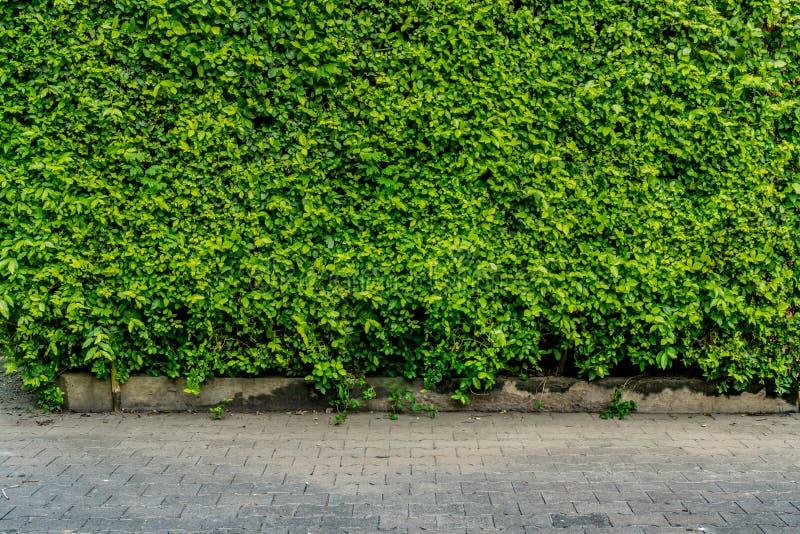 Zielony żywopłotu ogrodzenie obraz stock
