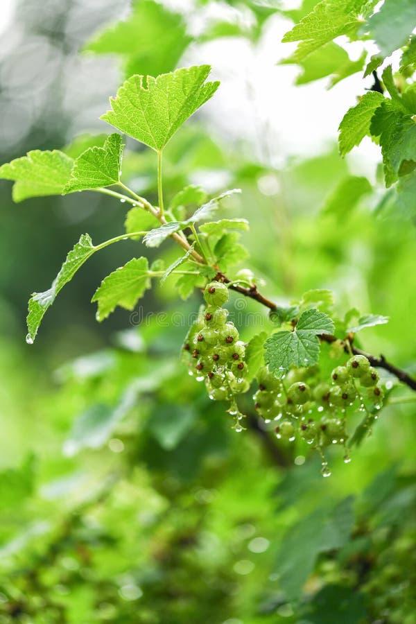 Zielony agrest w ogródzie w kroplach woda po deszczu Gałąź agrest fotografia stock