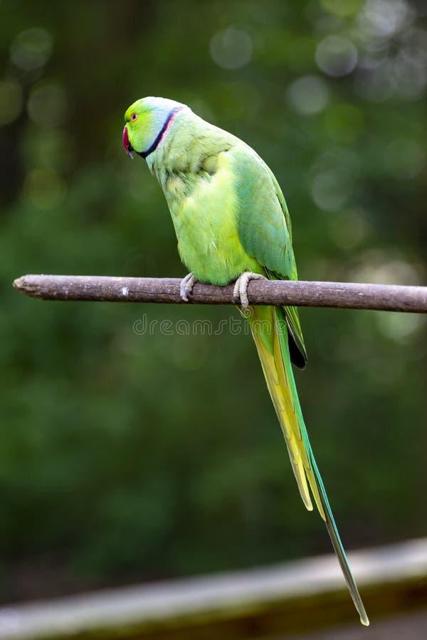 Zielony aleksandrynu parakeet, żyje w regionie azjatyckim fotografia royalty free