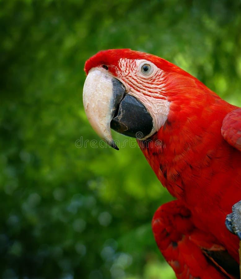 zielony ary skrzydło papugę obraz stock