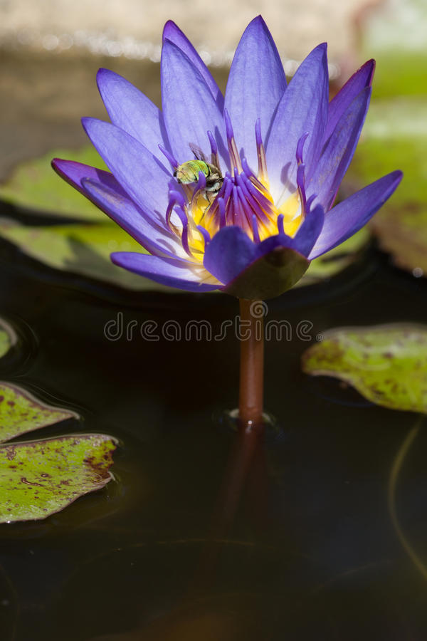 Zielony błękit skrzyknąca pszczoła dalej waterlily obraz royalty free