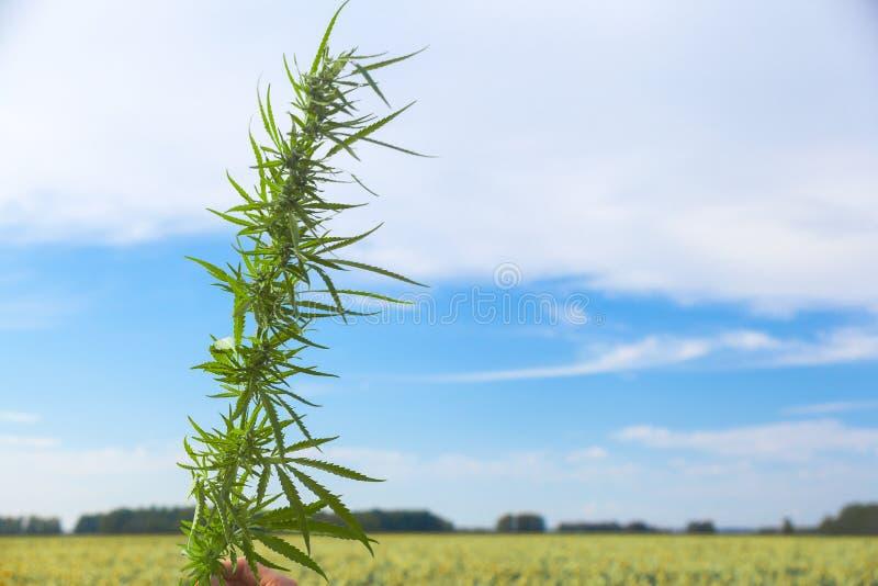 Zielony badyl marihuana obraz stock