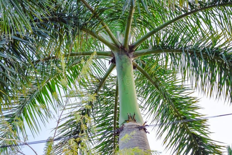 Zielony bagażnik palma z dużymi liśćmi obraz stock