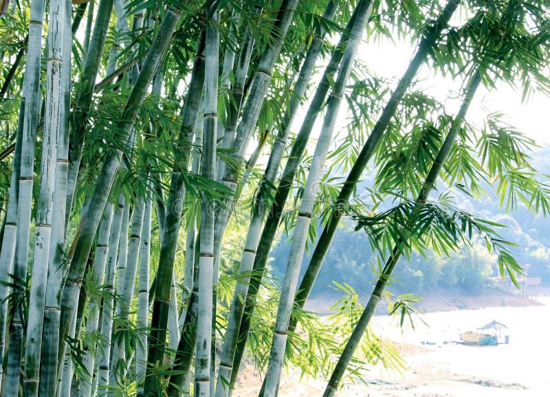 zielony bambusa drzewo fotografia royalty free