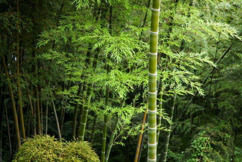 Zielony bambusowy gaj defocused obraz stock