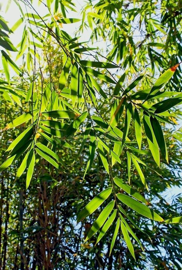 Zielony bambusowy las obraz stock