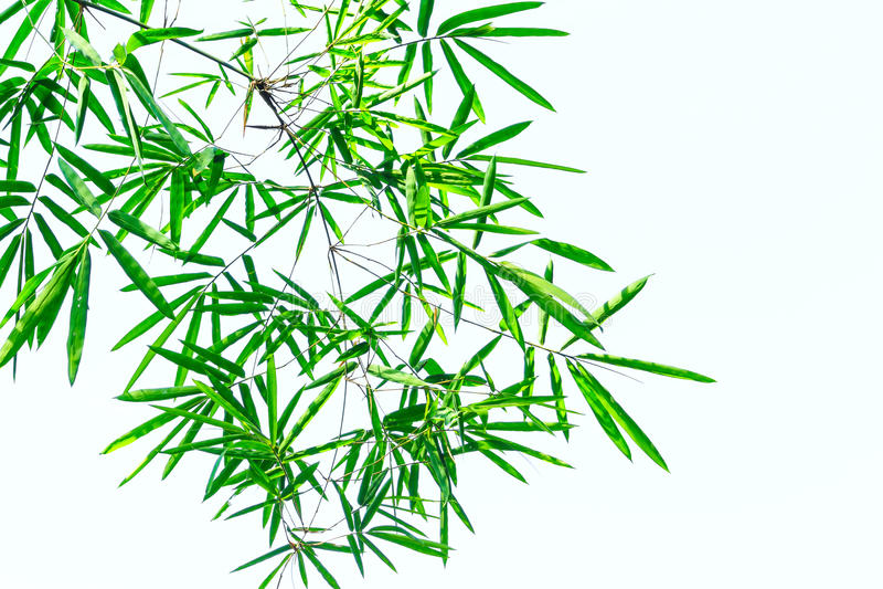Zielony bambusowy liść w białym tle zdjęcie royalty free