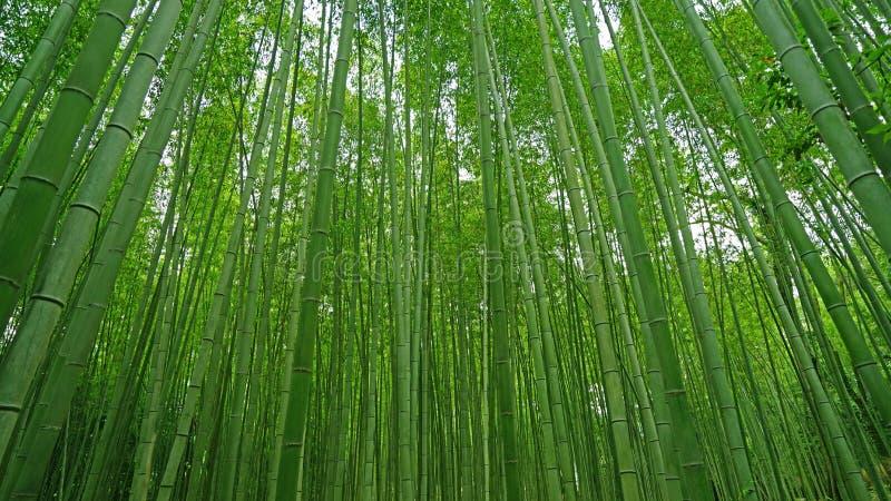 Zielony bambusowy roślina las w Japonia zen ogródzie obrazy stock