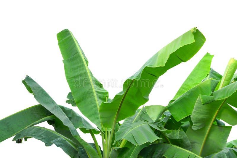 Zielony banan opuszcza drzewa odizolowywa na bielu obrazy royalty free