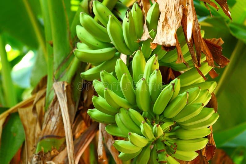 Zielony bananowy drzewo fotografia royalty free