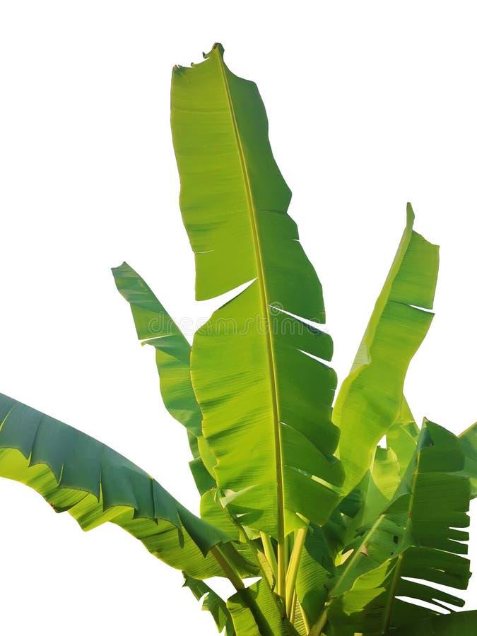 Zielony bananowy liść odizolowywający obraz royalty free