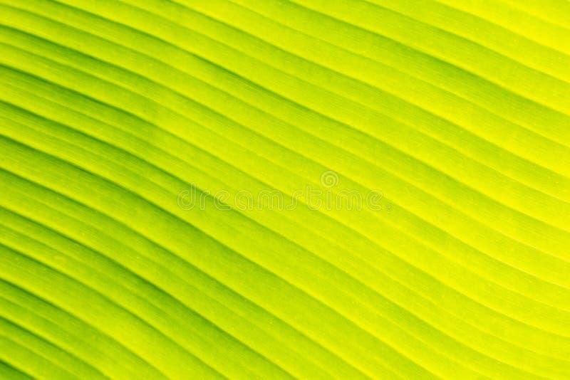 Zielony bananowy liść tekstury tło dla strona internetowa szablonu, wiosny piękna, środowiska i ekologii pojęcia projekta, obrazy stock