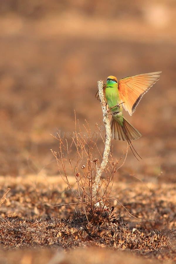 Zielony Bee-eater fotografia stock