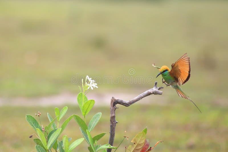 Zielony Bee-eater obrazy royalty free